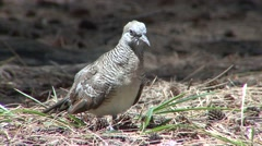 Stock Video Footage of Zebra Dove Summer Exotic Introduced
