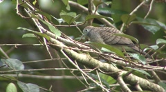 Zebra Dove Summer Exotic Introduced Stock Footage
