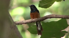White-rumped Shama Summer Stock Footage
