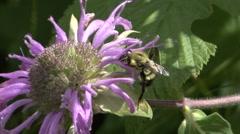 Bumblebee Feeding Summer Pollinator Pollin Stock Footage