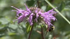 Stock Video Footage of Bergamot Summer Pollination Pollinator