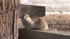 Richardsons Ground Squirrel Winter Stock Footage