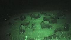 Bison Herd Summer Night Infrared - stock footage