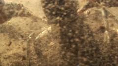 Crayfish Summer Dirty Water Underwater - stock footage