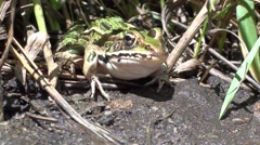 Leopard Frog Adult Summer - stock footage