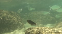 Saltwater Fish Kauai Summer Underwater - stock footage
