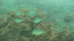 Saltwater Fish Kauai Summer Underwater - stock footage