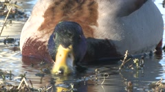 Mallard Drake Feeding Summer Slow Motion Stock Footage