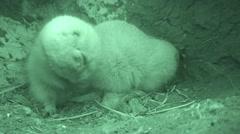 Black-tailed Prairie Dog Pair Grooming Burrow Den Underground Infrared - stock footage