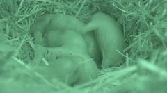 Black-tailed Prairie Dog Young Family Spring Burrow Den Nest Underground - stock footage