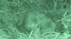 Black-tailed Prairie Dog Female Adult Young Family Spring Burrow Den Nest - stock footage
