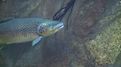 Rainbow Trout Lone Summer Underwater Stock Footage