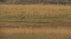Northern Harrier Fall Stock Footage