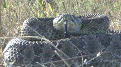 Rattlesnake Lone Alarmed Fall Stock Footage