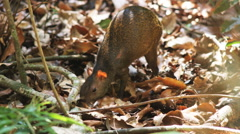Agouti in the forest Stock Footage