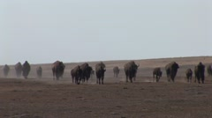 Bison Herd Walking Summer Drought Stock Footage