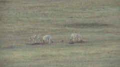 Coyote Pack Fall - stock footage