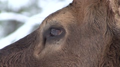 Elk Bull Adult Fall Eye Closeup Stock Footage