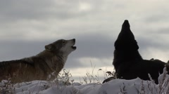 Wolf Pair Calling Fall Howl Howling Backlight Stock Footage