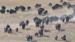 Bison Herd Running Fall Stampede Slow Motion - stock footage