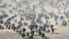 Bison Herd Running Fall Stampede Slow Motion Stock Footage