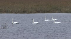 Trumpeter Swan Several Swimming Fall Stock Footage