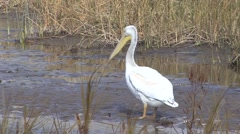 White Pelican Lone Fall Stock Footage