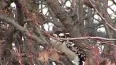 Downy Woodpecker Male Lone Fall Stock Footage