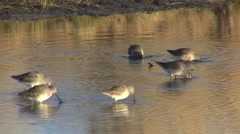 Long-billed Dowitcher Several Feeding Fall Stock Footage