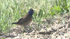 Blue Grosbeak Immature Summer Stock Footage