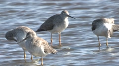 Stock Video Footage of Greater Yellowlegs Fall
