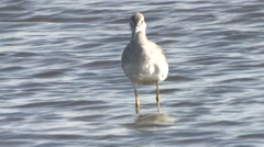 Greater Yellowlegs Lone Fall - stock footage