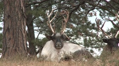 Caribou Fall - stock footage