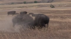 Bison Bull Adult Fighting Summer Zoom In - stock footage