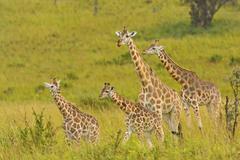 Giraffe family in the veldt Stock Photos