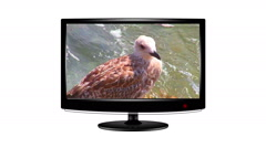 Short clip of a seagull playing on a flat screen monitor Stock Footage