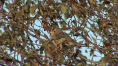 White-crowned Sparrow Immature Fall - stock footage