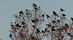 Yellow-headed Blackbird Flock Fall Stock Footage