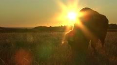 Bison Bull Adult Feeding Fall Sunrise Sun Flare Orange - stock footage