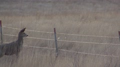 Mule Deer Adult Fawn Several Jumping Fall Fence Over Under - stock footage