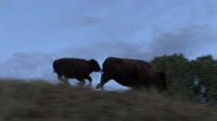 Bison Cow Adult Calf Running Fall Tracking Stock Footage