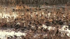Red-winged Blackbird Flock Feeding Fall Wetland Stock Footage