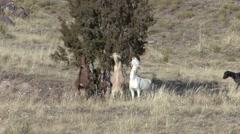 Goat Feeding Fall Rangeland Ranch Browsing Stock Footage