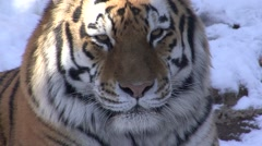 Siberian Tiger Lone Fall Teeth Closeup Stock Footage