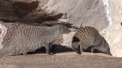 Banded Mongoose Fall Stock Footage
