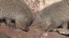Banded Mongoose Fall - stock footage