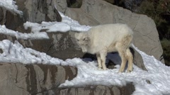 Dall Sheep Young Lone Fall Stock Footage