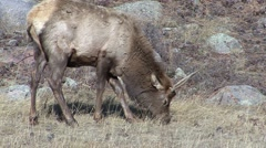 Elk Bull Young Feeding Fall Spike Stock Footage