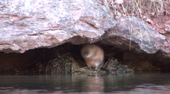 Muskrat Feeding Fall Stock Footage