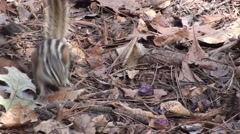 Least Chipmunk Feeding Fall Stock Footage